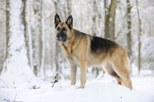 JD-21359 DOG. German shepherd standing in the snow