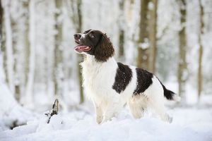 JD-21360 DOG. English springer spaniel standing in the snow