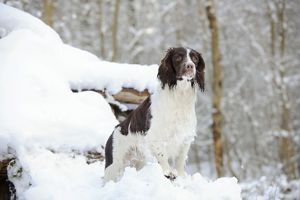 JD-21361 DOG. English springer spaniel standing on snow covered logs