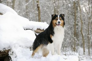 JD-21362 DOG. Australian shepherd standing on snow covered logs