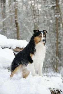 JD-21363 DOG. Australian shepherd standing on snow covered logs