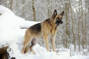 JD-21364 DOG. German shepherd standing on snow covered logs