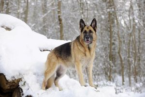 JD-21365 DOG. German shepherd standing on snow covered logs