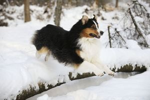 JD-21366 DOG. Australian shepherd jumping over snow covered branch