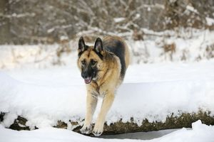 JD-21367 DOG. German shepherd jumping over snow covered branch