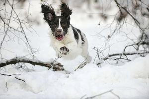 JD-21369 DOG. English springer spaniel running through the snow