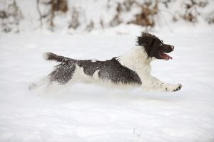 JD-21370 DOG. English springer spaniel running through the snow