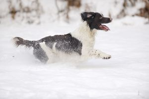 JD-21371 DOG. English springer spaniel running through the snow