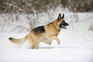 JD-21372 DOG. German shepherd running through the snow