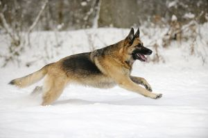 JD-21374 DOG. German shepherd running through the snow