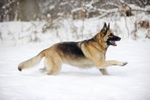 JD-21375 DOG. German shepherd running through the snow