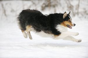 JD-21376 DOG. Australian shepherd running through the snow