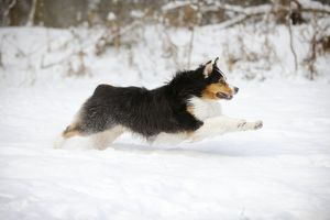 JD-21377 DOG. Australian shepherd running through the snow