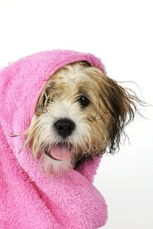 JD-21389 Teddy Bear dog - wet, wrapped in a towel