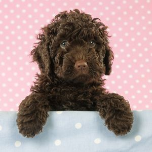 baby animals/jd 21390 m c spanish water dog puppy looking shelf