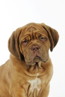 JD-21413 DOG. Dogue de bordeaux puppy (head shot)