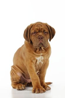 JD-21414 DOG. Dogue de bordeaux puppy sitting down