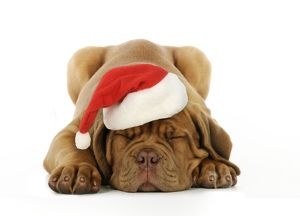 JD-21415-M DOG.Dogue de bordeaux puppy lying down wearing Christmas hat