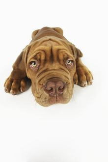 JD-21417 DOG. Dogue de bordeaux puppy lying down