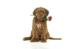 JD-21418 DOG. Dogue de bordeaux puppy sitting down holding a rose