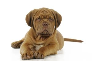 JD-21419 DOG. Dogue de bordeaux puppy lying down