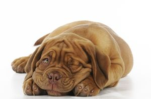 JD-21421-M DOG. Dogue de bordeaux puppy lying down - winking