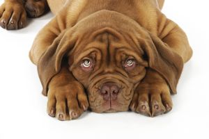 JD-21423 DOG. Dogue de bordeaux puppy lying down (head shot)
