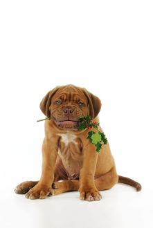 JD-21424 DOG. Dogue de bordeaux puppy sitting down holding holly