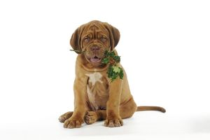 JD-21427 DOG. Dogue de bordeaux puppy sitting down holding holly