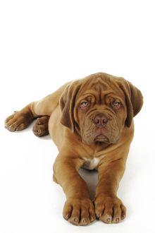 JD-21429 DOG. Dogue de bordeaux puppy laying down