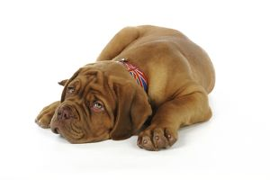 JD-21430 DOG. Dogue de bordeaux puppy laying down wearing a union jack collar
