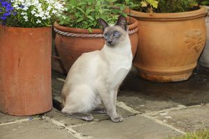 JD-21431 CAT. Blue point siamese cat sitting in front of a flower pot
