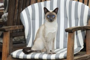 JD-21432 CAT. Blue point siamese cat sitting in a garden chair