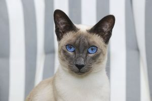 JD-21433 CAT. Blue point siamese cat sitting in a garden chair (head shot)