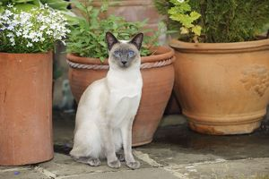 JD-21434 CAT. Blue point siamese cat sitting in front of a flower pot