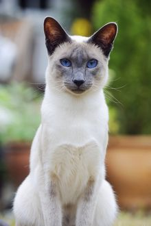 JD-21435 CAT. Blue point siamese cat sitting in the garden