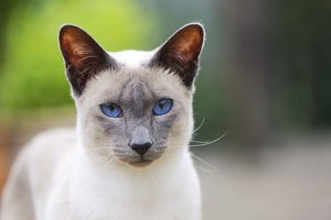 JD-21436 CAT. Blue point siamese cat standing in the garden