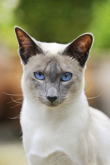 JD-21437 CAT. Blue point siamese cat standing in the garden