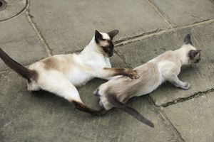 JD-21440 CAT. Blue point siamese cat and chocolate point siamese cat playing