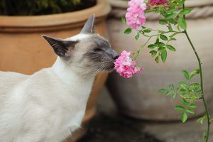 JD-21442 CAT. Blue point siamese cat smelling a flower