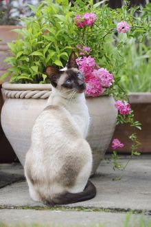 JD-21443 CAT.Chocolate point siamese cat sitting in front of a flower pot
