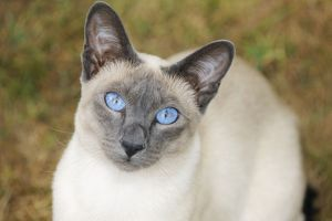 JD-21444 CAT. Blue point siamese cat sitting on grass