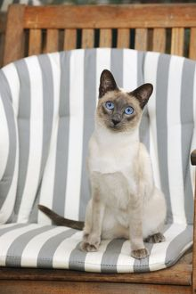 JD-21445 CAT. Blue point siamese cat sitting in a garden chair