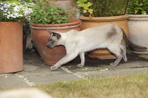 JD-21446 CAT. Blue point siamese cat walking in front of flower pots
