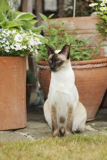 JD-21447 CAT. Chocolate point siamese cat sitting in front of flower pots