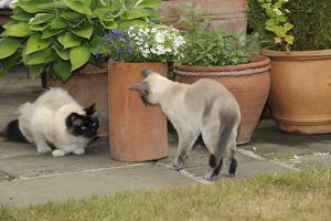 JD-21449 CAT. Blue point siamese cat looking at an oriental cat