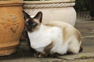JD-21450 CAT. Chocolate point siamese cat sitting in front of flower pots