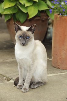 JD-21451 CAT. Blue point siamese cat sitting in front of a flower pot