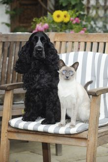 JD-21452 CAT & DOG. Blue point siamese cat sitting next to a cocker spaniel sitting