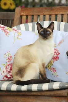JD-21454 CAT. Chocolate point siamese cat sitting on a garden chair